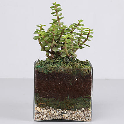"Jade Plant 4"" Glass Terrarium: Terrariums Plants"