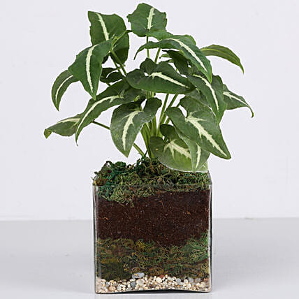 "Syngonium Plant 4"" Square Glass Terrarium: Terrariums Plants"