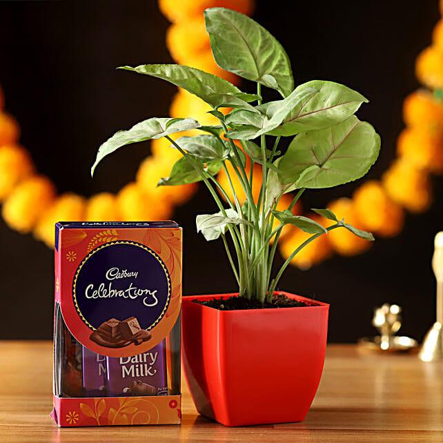 Cadbury Celebrations With Syngonium Plant: Deepavali Gifts