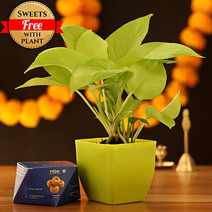 Golden Money Plant & Peda Sweet: Send Diwali Sweets to Udaipur