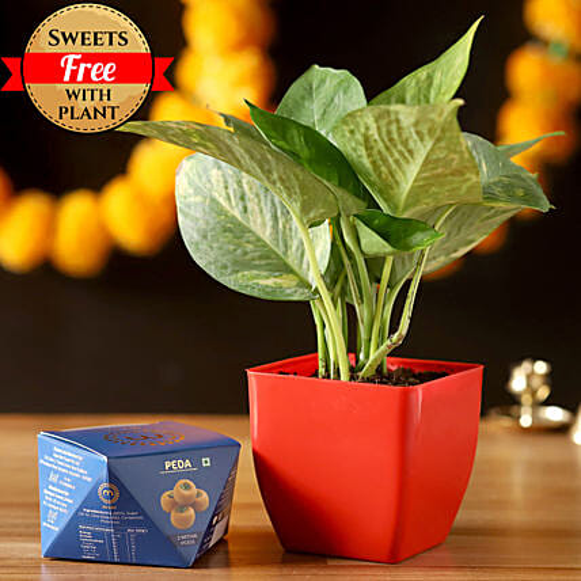 Money Plant & Misht Peda: Deepavali Gifts
