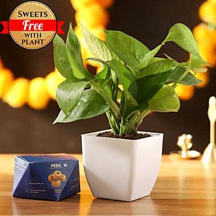 Money Plant With Sweet Peda: Diwali Sweets Vadodara