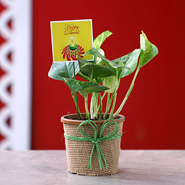 Money Plant For Diwali: Deepavali Gifts