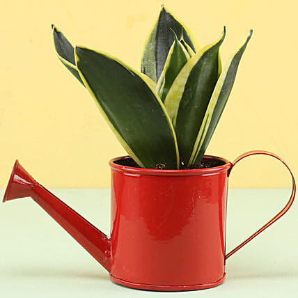 MILT Sansevieria In Watering Can Pot: Succulents and Cactus Plants