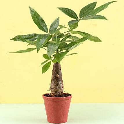 Pachira Bonsai In Red Pot: Best Gifts to India