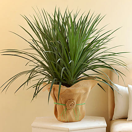 Beautiful Dracaena Draco Plant:
