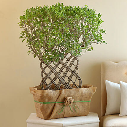 Ficus Crache Bonsai Plant: Premium Plants