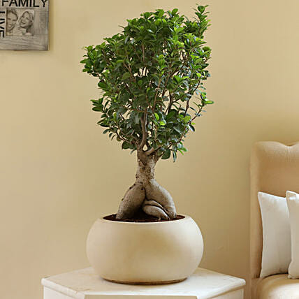 Ficus Microcarpa Bonsai in Fiber Pot: Gifts for Brothers Day