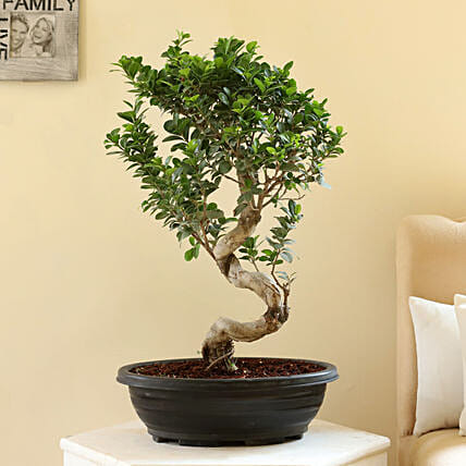 Ficus S Shaped Bonsai Plant in Ceramic Pot: Bonsai Plants