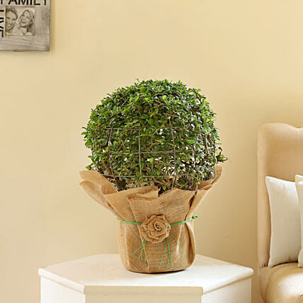 Ball Shaped Carmona Bonsai Plant: Bonsai Plants