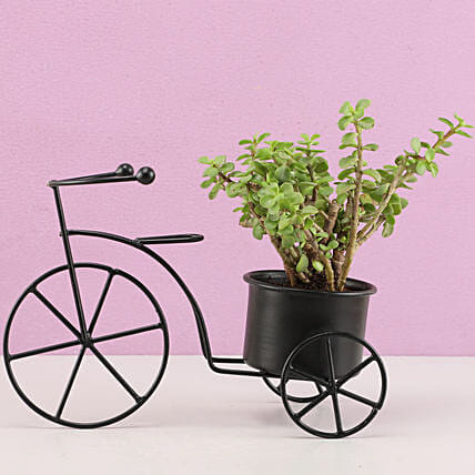 Jade Plant In Black Metal Cycle Planter: Cactus and Succulents Plants