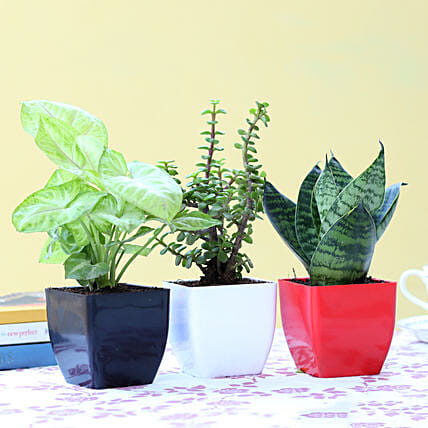 Set Of 3 Green Foliage Plants: Indoor Plants