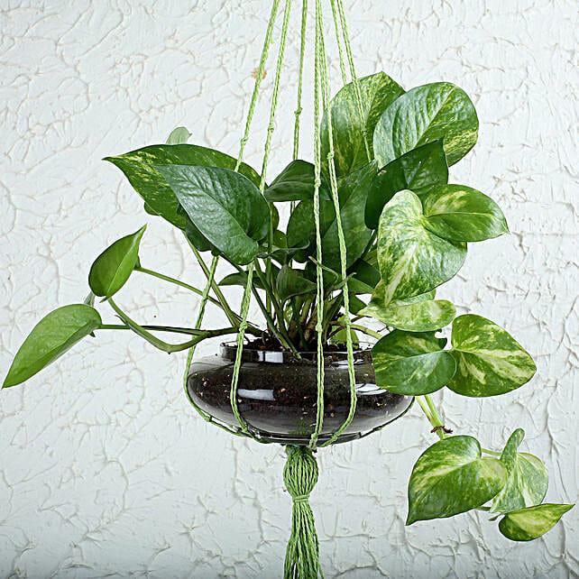 Thriving Money Plant Terrarium: Terrariums Plants