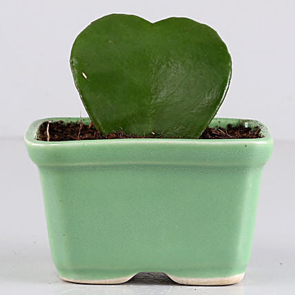 Hoya Plant In Rectangular Green Tray: Brothers Day Gifts