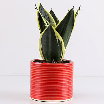 MILT Sansevieria In Red Pipe Pot: Air Purifying Plants