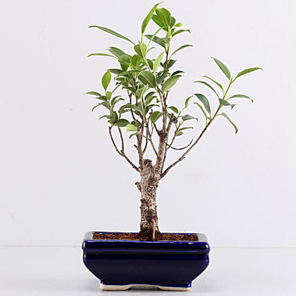Ficus I Shape Bonsai In Blue Tray Pot: Bonsai Plants
