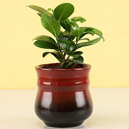 Ficus Compacta Plant in Brick Red Ombre Novelty Pot: Gift For Boss
