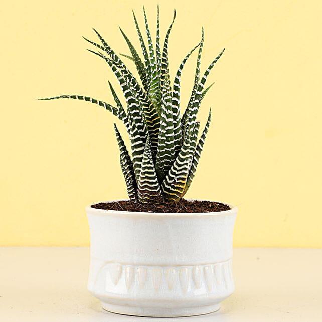 Haworthia Zebra Plant in Ivory White Merin Pot: Succulents and Cactus Plants