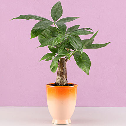 Pachira Bonsai Plant in Orange Ombre Venetian Vase: Plant New Arrivals