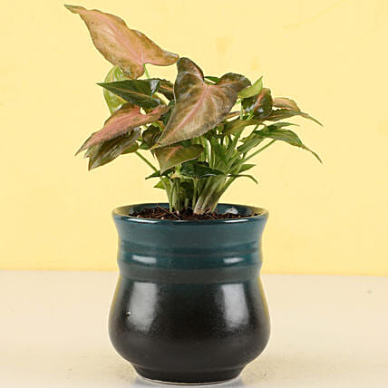 Pink Syngonium Plant in Peacock Green Ombre Novelty Pot: Gift For Boss