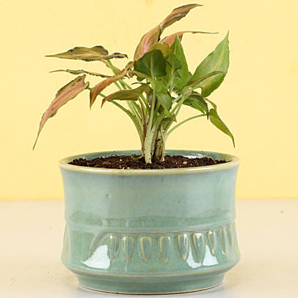 Pink Syngonium Plant in Sandy Green Merin Pot: Gift For Boss