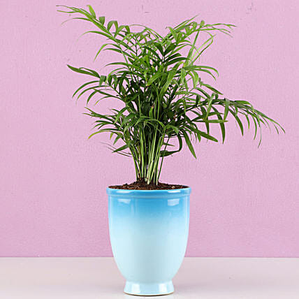 Chamaedorea Plant in Blue Ombre Venetian Vase: Air Purifying Plants