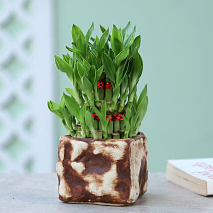 3 Layer Bamboo Plant In CB Stone Pot: Lucky Bamboo for Rakhi