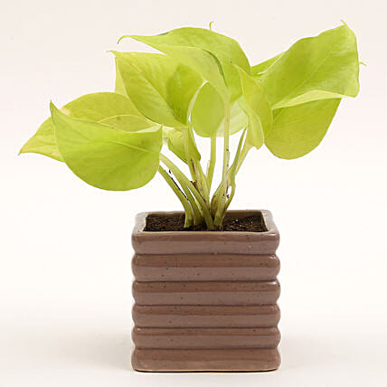 Golden Money Plant In Brown Ceramic Pot: Gift Ideas
