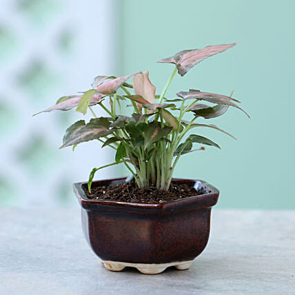 Pink Syngonium Plant In Brown Tray Pot: Boss Day Gifts