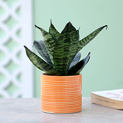 Snakeskin Sansevieria In Ceramic Pipe Design Pot: Air Purifying Plants