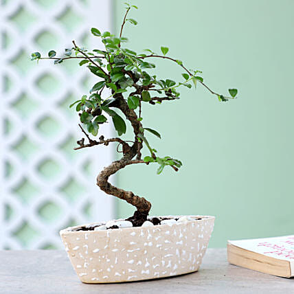 S Shaped Ficus In Designer White Pot: Bonsai Plants