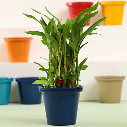 3 Layer Bamboo Plant In Blue Metal Pot: Ornamental Plants