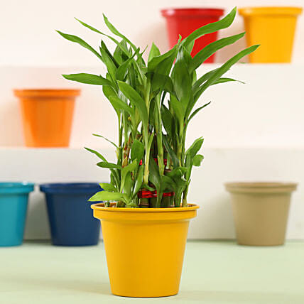 3 Layer Bamboo Plant In Yellow Metal Pot: Ornamental Plant Gifts