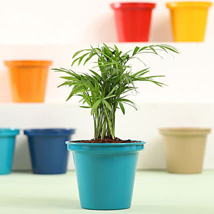 Chamaedorea In Green Metal Pot: Indoor Plants