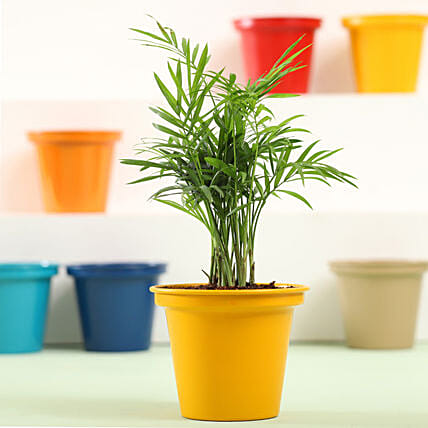Chamaedorea In Yellow Metal Pot: Plant New Arrivals