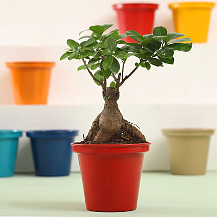 Ficus Bonsai In Red Metal Pot: Air Purifying Plants