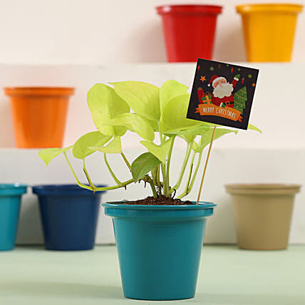 Golden Money Plant In Green Pot For Christmas: Plants for Christmas