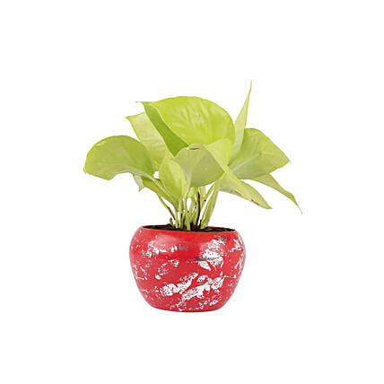 Golden Money Plant In Red Metal Pot: Ornamental Plants