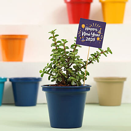 Jade Plant In Blue Metal Pot For New Year: Crassula Plant