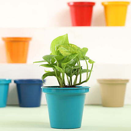Money Plant In Green Metal Pot: Air Purifying Plants