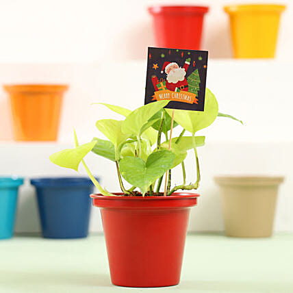 Money Plant In Red Metal Pot For Christmas: Buy Christmas Plants