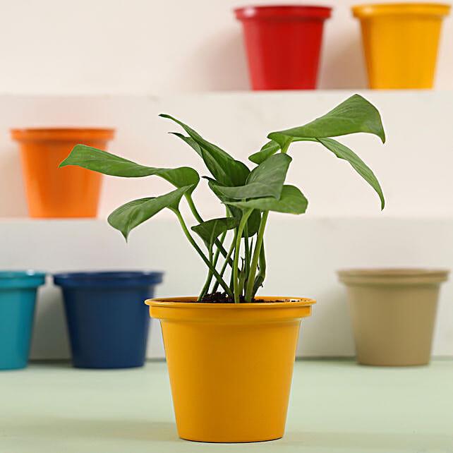 Money Plant In Yellow Metal Pot: Money Tree