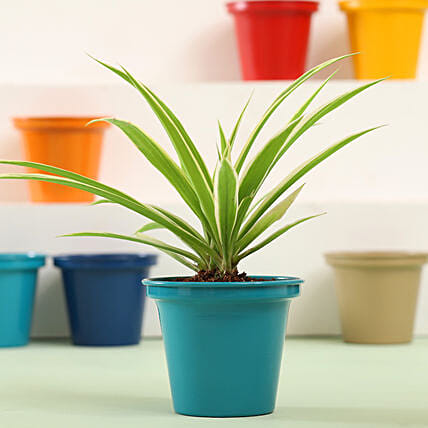 Spider Plant In Green Metal Pot: