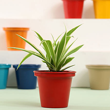 Spider Plant In Red Metal Pot: Outdoor Plants