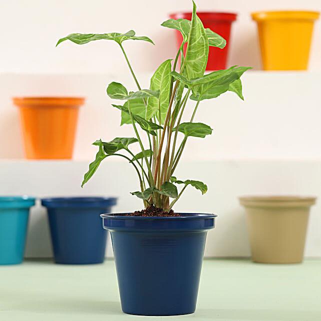 Syngonium Plant In Blue Metal Pot: Ornamental Plants