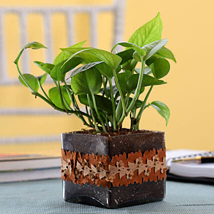 Gold King Money Plant in Square Glass Pot with Flower Lace: Terrariums Plants