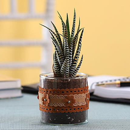 Howarthia Zebra Plant in Cylinder Glass Pot with Flower Lace: Exotic Plants