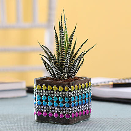 Howarthia Zebra Plant in Square Glass Pot with Heart Lace: Exotic Plant Gifts