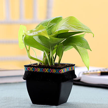 Neon Money Plant in Black Square Pot with Boho Lace: Best Outdoor Plant