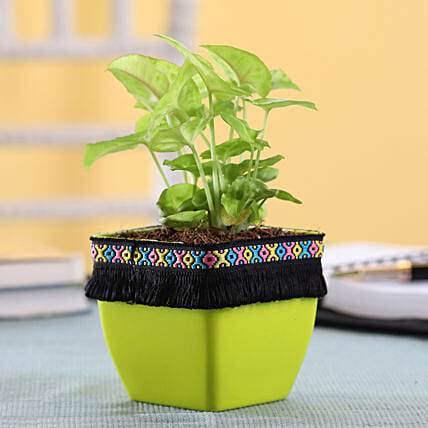 Syngonium Plant in Green Square Pot with Boho Lace: Buy Indoor Plants